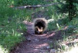 Porcupine waddles down the trail