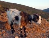 Kalymnos goat