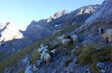 Sheep in Cirque d'Estaube