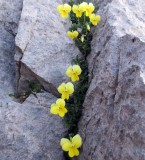 Gigilos plants in limestone crevaces