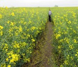 Part II Through fields of rapeseed