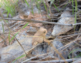 Silver Falls-Choprock Loop: Escalante small toad