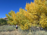Salt Creek canyon Autumnal cottonwoods
