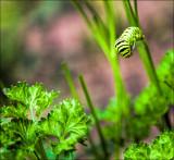 Parsley, Sage, Rosemary & Caterpillar