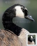 Canada Goose M13_2287
