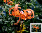 Tiger Lily M13_1912