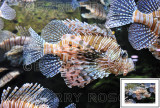 Lionfish BSR_2165
