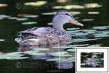 Wood Duck ME1_2532