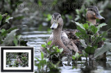 Mallard Ducks CON_4308