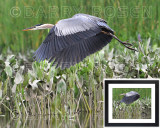 Geat Blue Heron BSR_2086