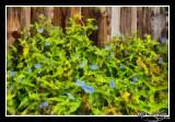 Asiatic Dayflower Painting