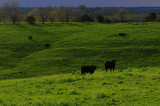 Spring View: Cattle in Field