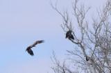 Eagles Near Pattonsburg
