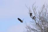 Eagle Near Pattonsburg