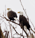 Eagles at Squaw Creek