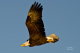 Eagle at Squaw Creek