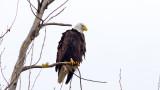 Banded Eagle