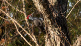 Pileated Woodpecker at Elam Bend