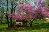 Redbud Tree & Old Cabin