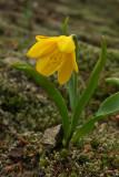 Fritillaria pudica