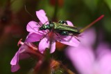 Flower Beetle (Oedemera nobilis) on Herb Robert