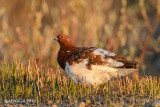 Willow Ptarmigan, male