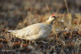 Rock Ptarmigan, male