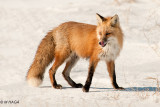Red Fox, pregnant female near Clavet