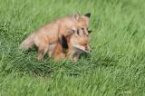 Red Fox, juveniles, Saskatoon