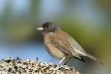 Sparrows, Junco and Towhee