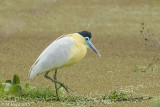 Capped Heron, Atlantic Rain Forest