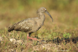 Plumbeous Ibis, Pantanal