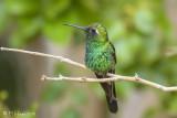 Cuban Emerald Hummingbid