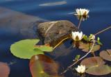 White waterlily / Nøkkeroser