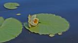 Nøkkerose / White waterlily