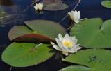 Nøkkeroser og guldsmed / White waterlily and dragon fly