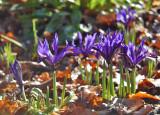 Blå Iris