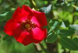 Rosa moyesii, en kinesisk vildrose