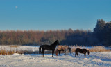 Heste elsker sne