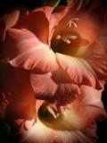 Gladiolus 2014