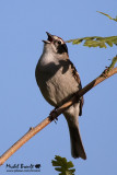 Bruants - Sparrows