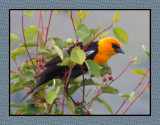Blackbirds, Orioles & Meadowlarks