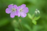 Wild Geranium 2013