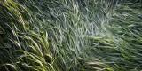 Flattened Prairie Grass