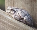 Common Gray Treefrog on a Railing