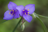 Spiderwort at Nachusa