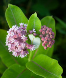 Common Milkweed 2013
