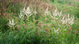Culver's Root Cluster