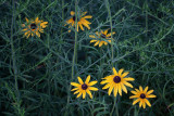 Black-eyed Susan in the Weeds