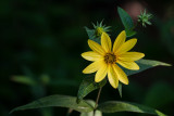 Woodland Sunflower 2013